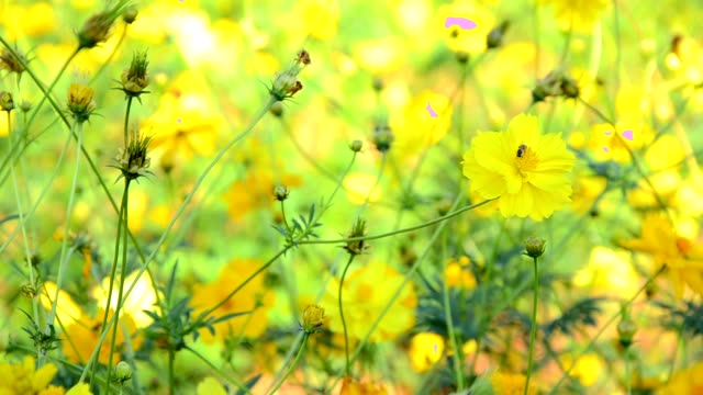 Bee and yellow cosmos