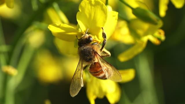 Biene und Gelbe Blumen