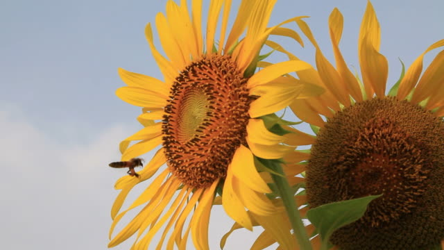 bee are flying - sunflower stock videos and b-roll footage