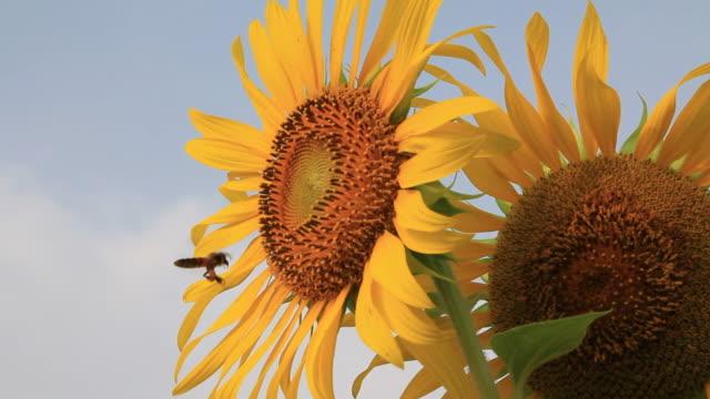 stockvideo's en b-roll-footage met bee are flying - zonnebloem