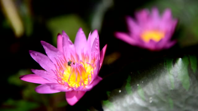 bee på lotus rosa - korslagda ben bildbanksvideor och videomaterial från bakom kulisserna