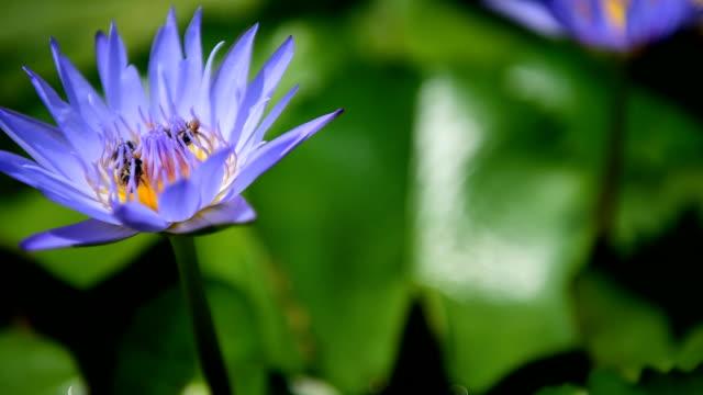 bee på lotus lila - korslagda ben bildbanksvideor och videomaterial från bakom kulisserna