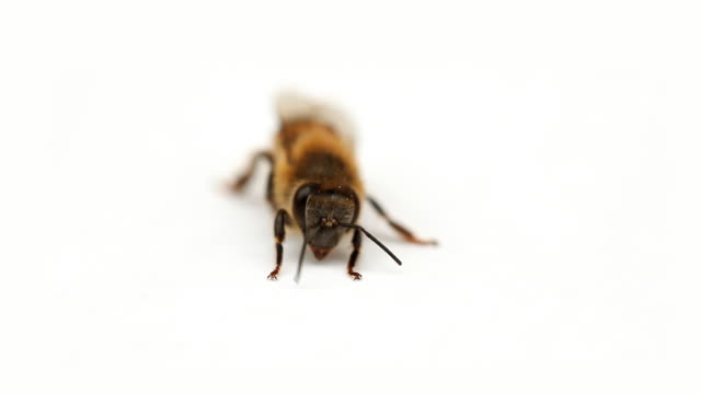 Biene Nahaufnahme 01