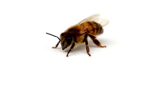 Biene Nahaufnahme 03