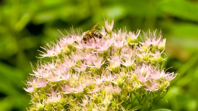 bienen sammeln nektar auf eis pflanze blume. - aptenia stock-videos und b-roll-filmmaterial