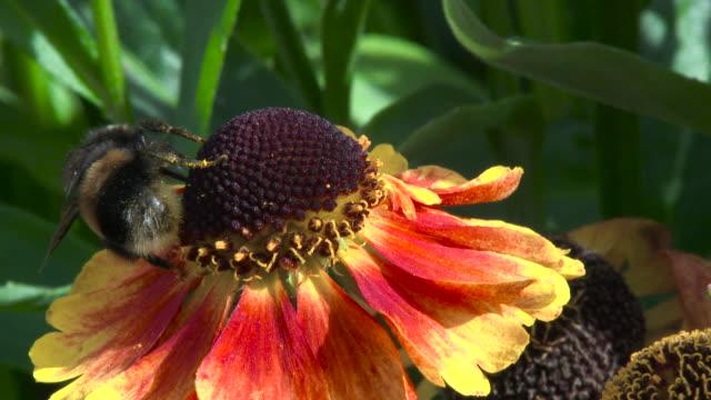 Abelha recolher néctar e pólen em um jardim de flores