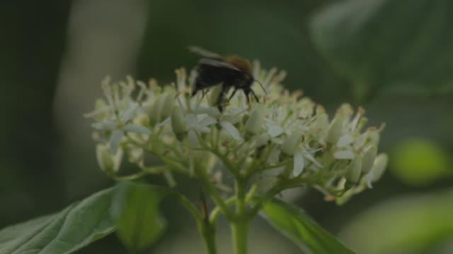 bee collecting nectar from rowan tree - サウスダウンズ点の映像素材/bロール