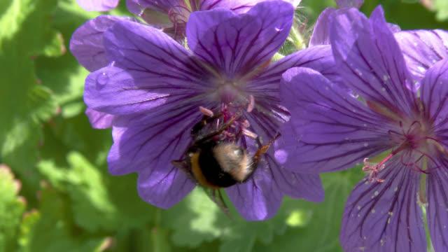 ミツバチは花から花粉を収集 - ゼラニウム点の映像素材/bロール