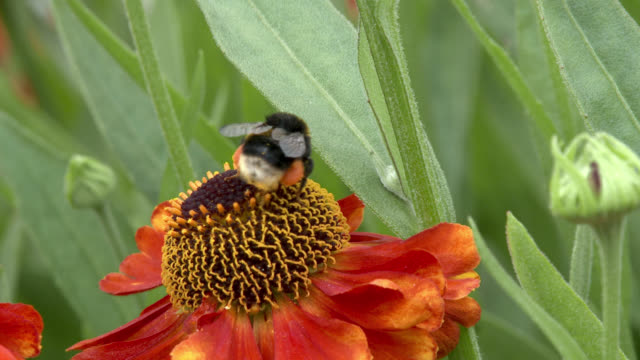 bee collecting pollen from a flower - bumblebee stock videos & royalty-free footage