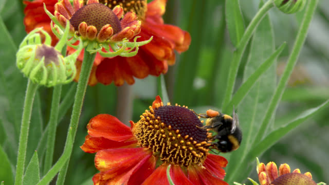 bee collecting pollen from a flower - johnfscott stock videos & royalty-free footage