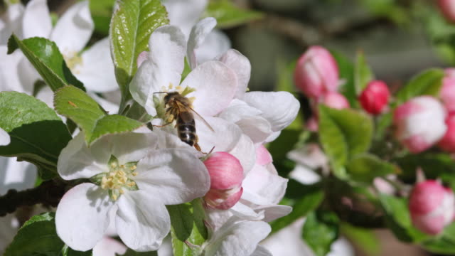 bee collecting pollen from apple blossom - invertebrate stock videos & royalty-free footage