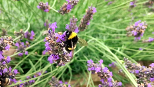 Bee collecting pollen on a lavender flower