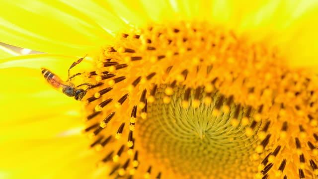 vídeos y material grabado en eventos de stock de abeja recogida de polen en un girasol - una rosa
