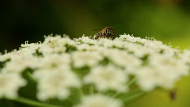 Bee Collecting Pollen On Queen Anne's Lace Flower