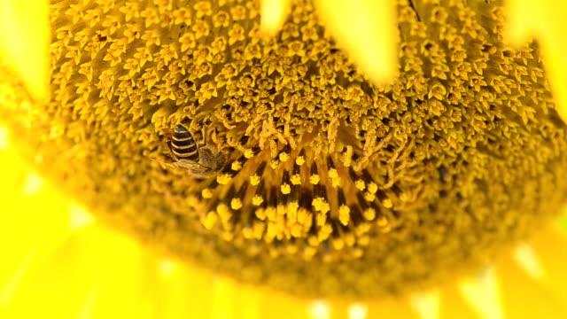 vídeos y material grabado en eventos de stock de abeja recogida de polen en sombra de girasol - una rosa