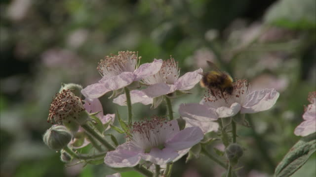 CU, Bee collecting pollen on wild rose