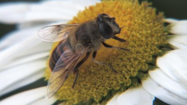 花粉ハナバチ収集します。 - 数匹の動物点の映像素材/bロール
