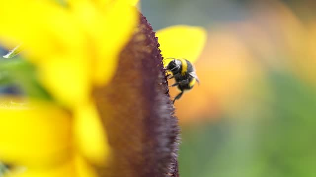 bee collects nectar from a yellow sunflower on july 22, 2021 in knutsford, england. summertime in july sunflowers bloom annually into autumn as a... - botany stock videos & royalty-free footage