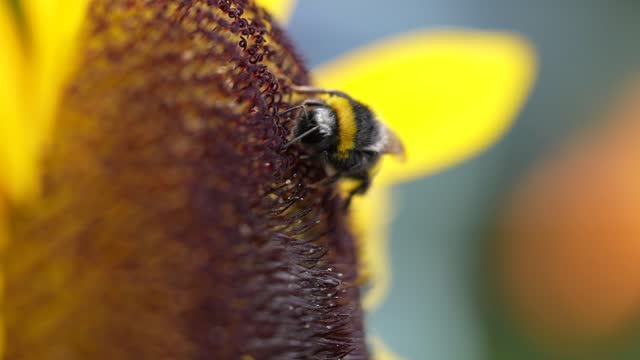 bee collects nectar from a yellow sunflower on july 22, 2021 in knutsford, england. summertime in july sunflowers bloom annually into autumn as a... - yellow stock videos & royalty-free footage