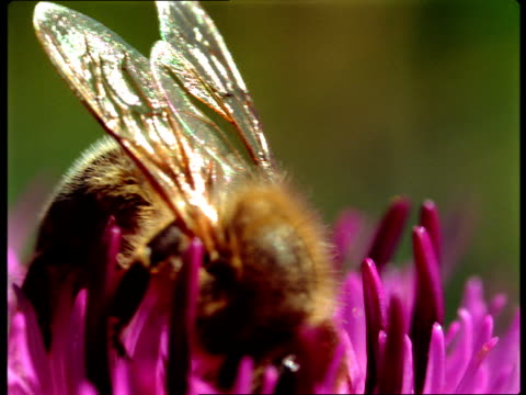 a bee collects pollen from a pink flower. - animal wing stock videos & royalty-free footage