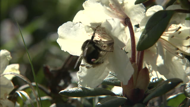 bee collects pollen from white rhododendron aureum flower, japan - rhododendron stock videos and b-roll footage