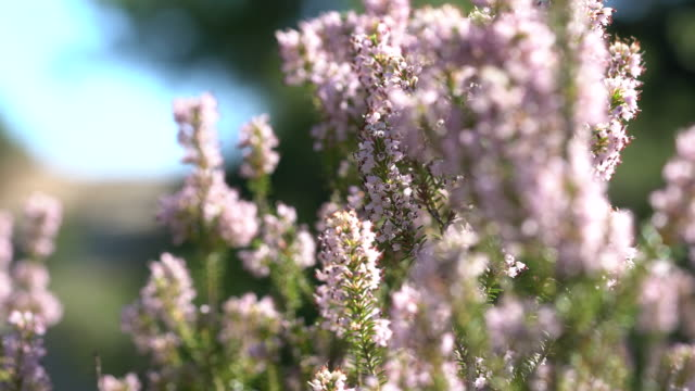 bee collects scented lavender flowers at field - provence alpes cote d'azur stock videos & royalty-free footage
