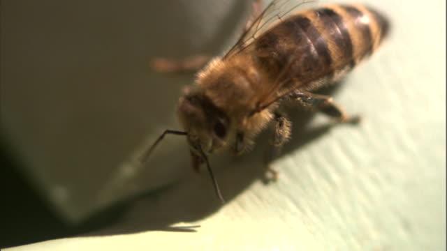 a bee crawls over a white surface. - gliedmaßen körperteile stock-videos und b-roll-filmmaterial