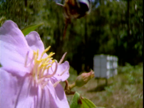 Bee darts around and collects pollen from pink flower, Queensland, Australia
