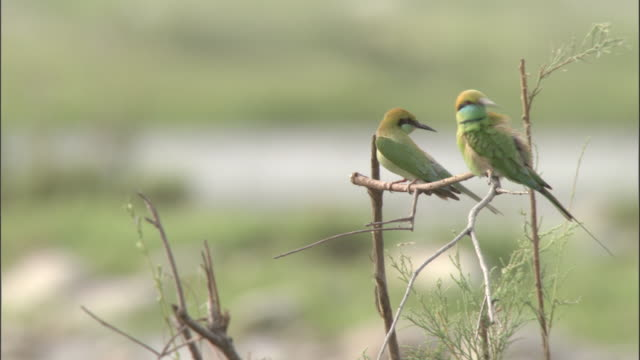 bee eaters preen whilst perching on twig then take off, chilla sanctuary, india available in hd. - perching stock videos & royalty-free footage