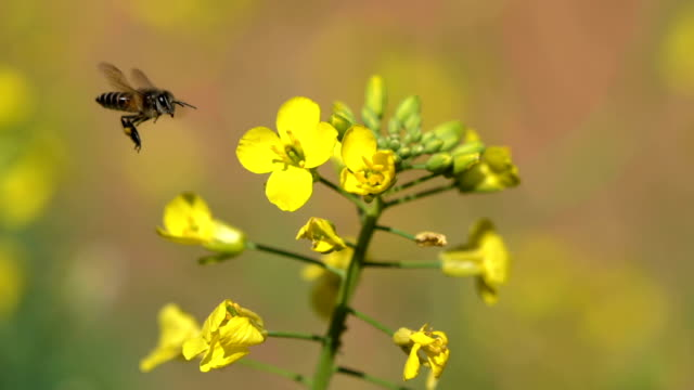 bee enjoying on yellow rapeseed flowers - insect stock videos and b-roll footage