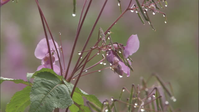 vidéos et rushes de bee exits from flower of himalayan balsam, valley of flowers, himalayas available in hd. - émergence