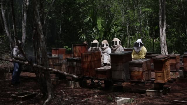 vídeos de stock, filmes e b-roll de bee farmers gathering honey and using bee smoker to put bees to sleep of the flor de tajonal cooperative in felipe carrillo puerto quintana roo... - quintana roo