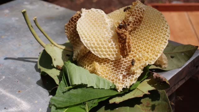 vídeos de stock, filmes e b-roll de bee farmers of the flor de tajonal cooperative in felipe carrillo puerto quintana roo mexico revise hives may 21 2017 shots cu of honeycombs on... - quintana roo