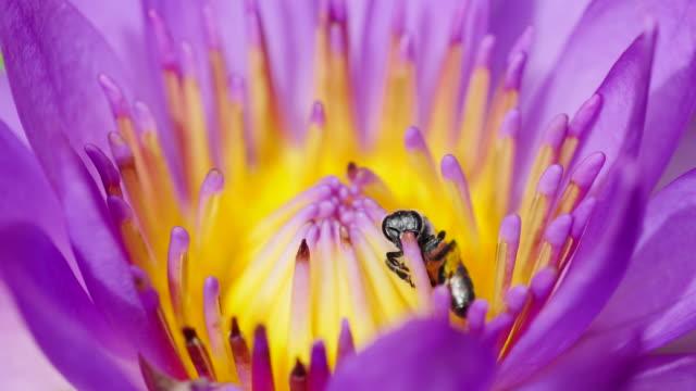 Bee utfodring på pollen rosa lotus.