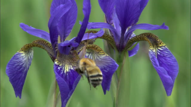 bee feeds from iris setosa, changbaishan national nature reserve, jilin province, china - bumblebee stock videos & royalty-free footage