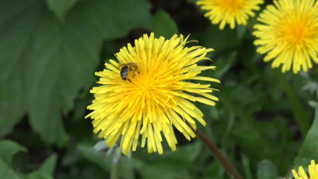 Bee feeds on dandelion