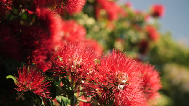 A bee feeds on pohutukawa flowers