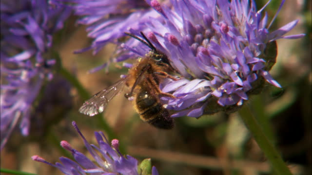 Bee feeds on Scabious flower on cliff top, UK