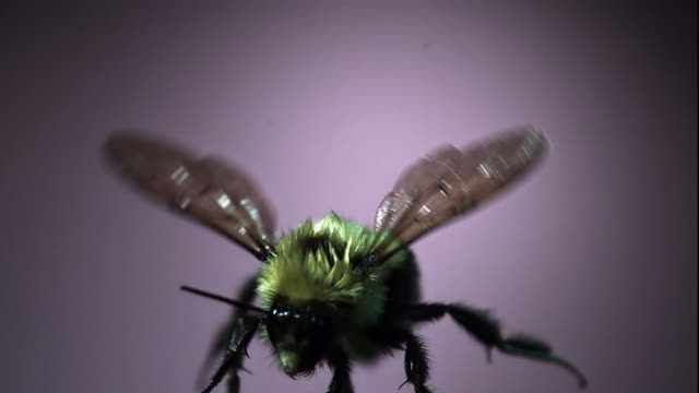 a bee flaps its wings in slow motion. - animal behaviour stock videos & royalty-free footage