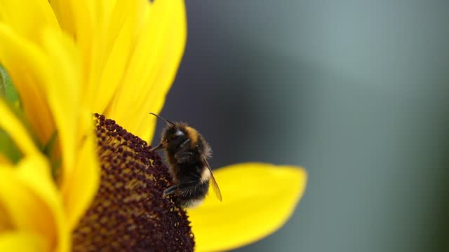 bee flies away after collecting nectar from a yellow sunflower on july 22, 2021 in knutsford, england. summertime in july sunflowers bloom annually... - botany stock videos & royalty-free footage