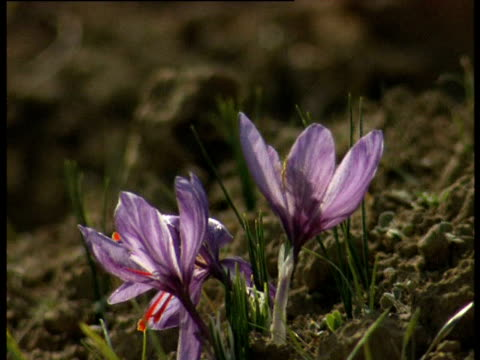 A bee flies out of a blooming saffron crocus