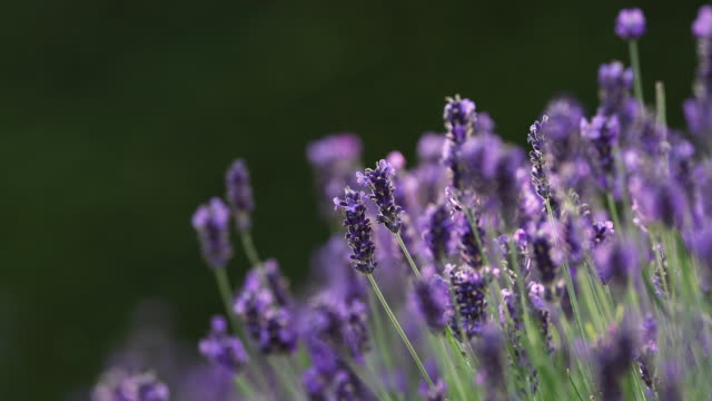 bee fly on lavender in summer - wildflower stock videos & royalty-free footage