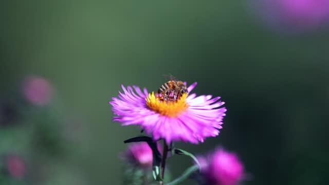 vídeos y material grabado en eventos de stock de abeja volando alrededor de la flor de las flores y recogiendo polen. dof, macro, primer plano - robin day