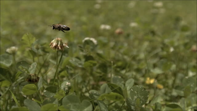 vídeos de stock e filmes b-roll de slo mo bee flying up and over clover rich meadow - abelha