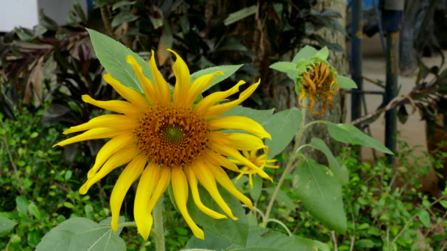 bee foraging on a sunflower - foraging stock videos & royalty-free footage