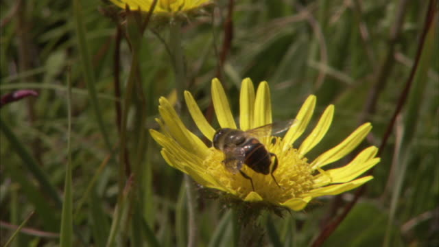 A bee gathers nectar from a bright yellow wildflower. Available in HD