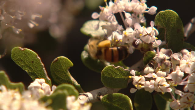 A bee gathers pollen on a flowering bush.