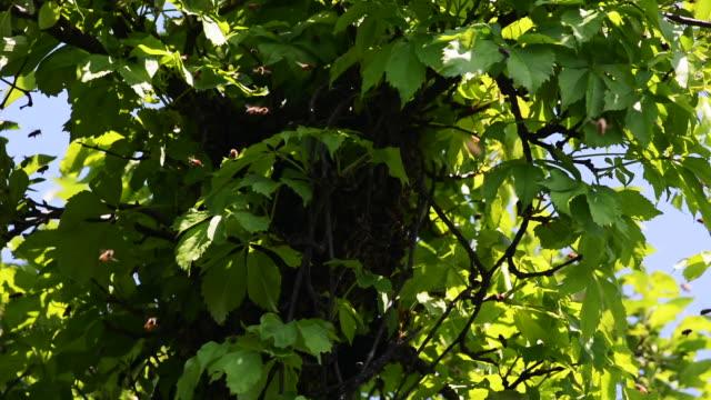 bee hive in tree - ブンブン鳴る点の映像素材/bロール