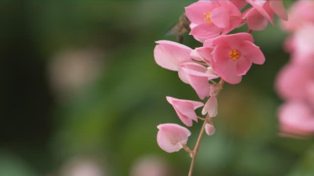 vidéos et rushes de a bee hovering around pink flowers against blur green background - pétale