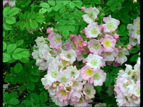 MS, ZI, CU, Bee in blooming shrub rose